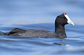 Red-knobbed Coot (Fulica cristata), side view of an adult swimming in a lake, Western Cape, South Africa