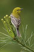 Pine Warbler (Setophaga pinus), Ontario, Canada