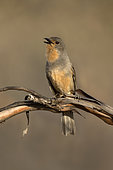 Red-lored Whistler (Pachycephala rufogularis) singing, perched on a branch, Victoria, Australia