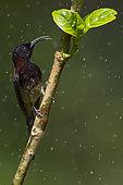Black-throated Sunbird (Aethopyga saturata assamensis) male perched on a branch, Yunnan, China