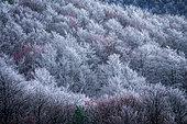 Forêt blanchis par le gel du Mont Aigoual et baies rouge du Sorbier des Oiseleurs, les Causses et les Cévennes, paysage culturel de l'agro-pastoralisme méditerranéen, classés Patrimoine Mondial de l'Unesco, Parc National des Cévennes, Classé Réserve Biosphère par l'Unesco, Lozère, France