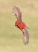 Northern Cardinal (Cardinalis cardinalis) male flying, Texas, USA