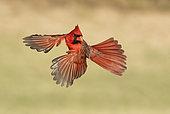 Cardinal rouge (Cardinalis cardinalis) mâle en vol, Texas, USA