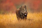 Wild Boar (Sus scrofa) foraging in meadow, Germany