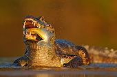 Yacare caiman (Caiman yacare) portrait with fish in muzzle, Pantanal, Brazil