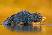 Yacare caiman (Caiman yacare) lying in water in sunset, Pantanal, Brazil