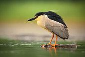 Black-crowned Night Heron (Nycticorax nycticorax), Hungary