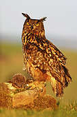 Eurasian Eagle-Owl (Bubo bubo) perched on a stone in a meadow with European Hedgehog (Erinaceus europaeus) prey, France