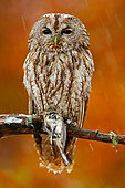 Tawny Owl (Strix aluco) perched on a branch in the rain with tit prey, Norway