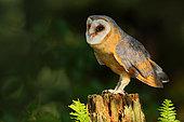 Western Barn Owl (Tyto alba) perched on a wooden fence in green fern, United Kingdom