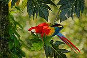Scarlet Macaw (Ara macao), Costa Rica