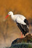 White Stork (Ciconia ciconia) perched on a stone, Czech Republic