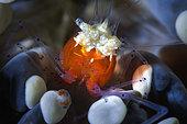 Mushroom coral ghost shrimp (Periclimenes kororensis) in its mushroom coral, Raja Ampat, Indonesia