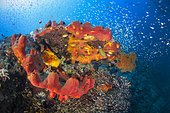 Red sponge in the shape of a jaw contrasts with the blue waters of Raja Ampat, Four kings, Misool, Indonesia