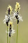 Laîche printanière (Carex caryophyllea)