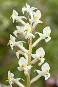 Jewel orchid (Ludisia discolor), flowers