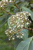 Cinnamon-leaved viburnum (Viburnum cinnamomifolium), flowers