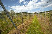 Herbicide treatment in vineyards with Dandelion (Taraxacum officinale), Obernai, Bas-Rhin, France