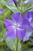 Greater periwinkle (Vinca major), flower