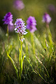 Orchid of the genus Dactylorhiza, Mas Camargues, the Causses and the Cévennes, cultural landscape of Mediterranean agro-pastoralism, classified World Heritage by UNESCO, Cévennes National Park, Classified Biosphere Reserve by UNESCO, Lozère, France