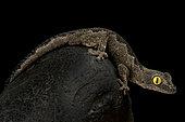 South-west spiny-tailed gecko (Strophurus spinigerus)
