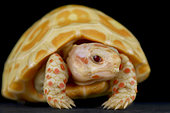 Albino red-footed tortoise (Chelonoidis carbonarius).