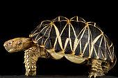 Burmese star tortoise (Geochelone platynota).