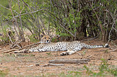 Cheetah (Acinonyx jubatus), female cub resting under a bush, Mpumalanga, South Africa