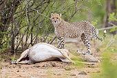 Cheetah (Acinonyx jubatus), a cub standing close to a caught Impala, Mpumalanga, South Africa