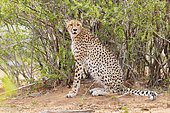 Cheetah (Acinonyx jubatus), adult female resting under a bush, Mpumalanga, South Africa
