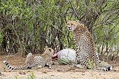 Cheetah (Acinonyx jubatus), adult female and a cub feeding on an Impala, Mpumalanga, South Africa