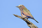 Purple Roller (Coracias naevius), adult perched on a dead brach, Mpumalanga, South Africa