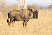 Blue Wildebeest, (Connochaetes taurinus), adult male standing in the savannah, Mpumalanga, South Africa