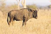 Gnou à queue noire (Connochaetes taurinus), mâle adulte debout dans la savane, Mpumalanga, Afrique du Sud