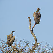White-backed Vulture (Gyps africanus), two immatures perched on a dead tree, Mpumalanga, South Africa