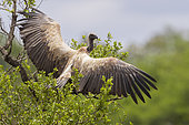 White-backed Vulture (Gyps africanus), immature perched on a tree spreading its wings, Mpumalanga, South Africa