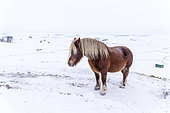 Mare of Breton breed under gusts of wind and snowfall, Montgros, Aubrac Regional Natural Park, Lozère, France