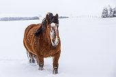 Ardennais horse in a snowy meadow during a snowfall, Nasbinals, Aubrac Regional Natural Park, Lozère, France