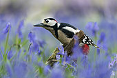 Great spotted woodpecker (Dendrocopos major) male amongst bluebell, England