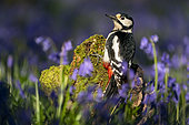 Great spotted woodpecker (Dendrocopos major) female amongst bluebell, England