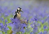 Great spotted woodpecker (Dendrocopos major) perched amongst bluebell, England