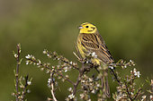 Yellowhammer (Emberiza citrinella) male perched on a branch, England