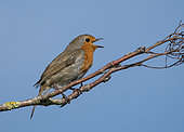 Robin (Erithacus rubecula) perched on a branch and displaying, England