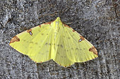 Brimstone moth (Opisthograptis luteolata) Imago at rest, Very colorful moth species, present in gardens, hedges and forest borders and common, Caterpillar especially on hawthorn and blackthorn, Saint-Brieuc, Brittany, France