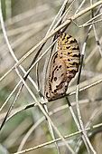 Marsh Fritillary (Euphydryas aurinia), chrysalis, wet oligotrophic meadows, May, Discriminating species Natura 2000, Plounérin, Côtes d'Armor, France