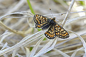 Marsh Fritillary (Euphydryas aurinia), male imago warming its wings in the sun, wet oligotrophic meadows, May, Discriminating species Natura 2000, Plounérin, Côtes d'Armor, France