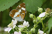 White admiral butterfly (Ladoga camilla) Imago foraging for bramble flowers along a forest path, Edge of woodland, July, Lac de Vassivière, Creuse, France