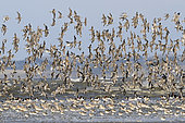 Flock of mixed shorebirds (Red Knots and Dunlins, Bar-tailed Godwits, Black-bellied plovers), National Natural Reserve of Saint-Brieuc Bay, Brittany, France