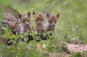 Red foxes (vulpes vulpes), puppies, young animals at the cave, curious, biosphere reserve Mittellelbe, Saxony-Anhalt, Germany, Europe