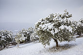 Olive groves in the snow, Moustiers-Sainte-Marie, labeled Les Plus Beaux Villages de France, regional natural park of Verdon, Alpes-de-Haute-Provence, France